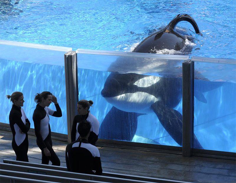 Orca assassina do documentário BlackFish morre nos EUA